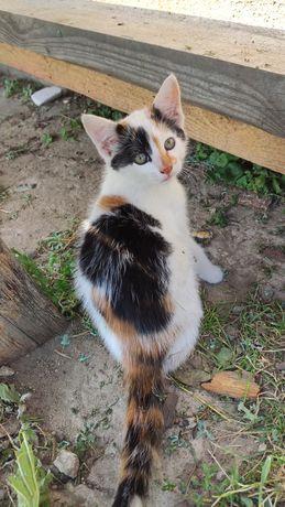 Oddam kotkę biało-czarno-rudą