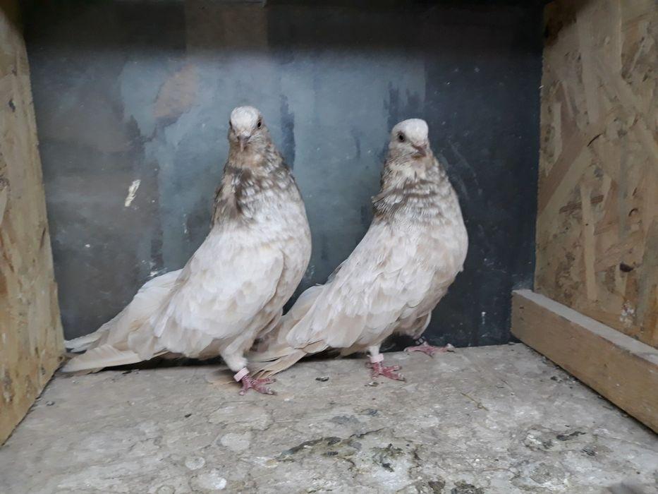 Кировоградские голуби. Запорожье - изображение 1