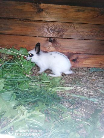 Królik karzełek, królik miniaturka samiczka