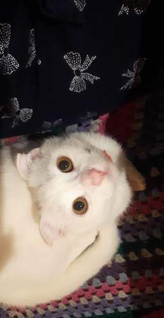 Кот Кокос шукає кішечку для в'язки..