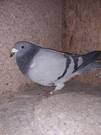 Gołębie pocztowe DV
