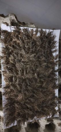 Świerszcze kubańskie 120sz- 15zl