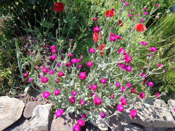 Лихнис садовый цветок
