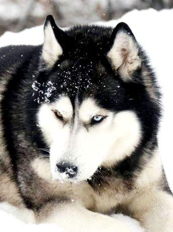 Хаски вязка, обмен на щенка