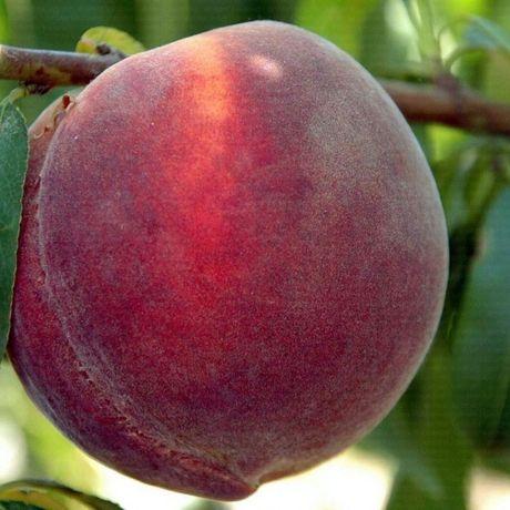 Саженцы плодовых деревьев (розы и кустарники)