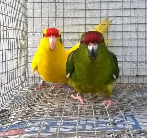 Vendo casal reprodutor de kakariquis