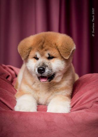 Акита Ину солнечный щенок!