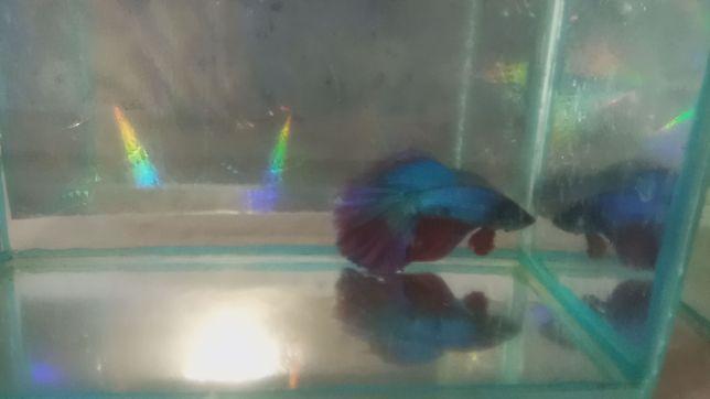 Петушки в аквариум, супер дельта, отборные