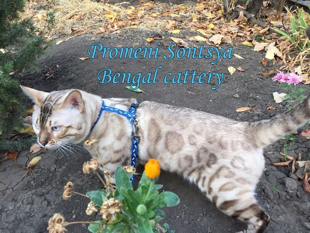 Снежный бенгальский кот на вязку (бенгал вязка)