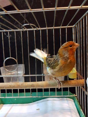 Kanarek Samiec Nr 2 Wysyłam ptaki kurierem