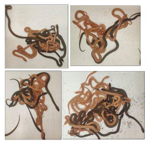 Wąż z terrarium nowym! Węże mahoniowe i zbożowe.