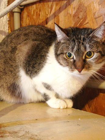 Красивая крупная кошка можно в частный дом