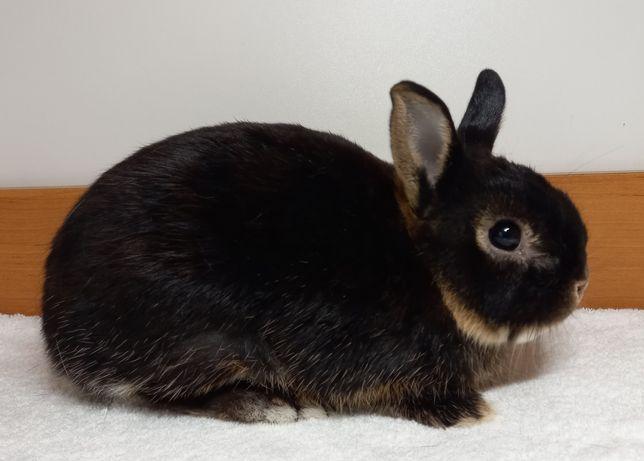 Декоративный кролик породы Карликовый цветной