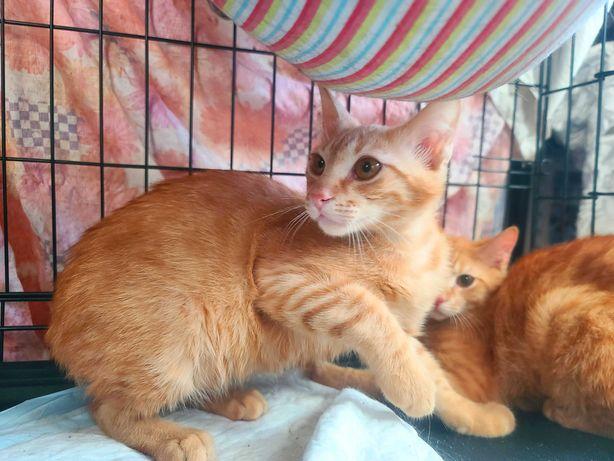 солнечные котята, Голдик и Рудик, коты, 7 месяцев