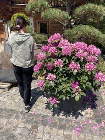 Rododendron wysoki na 1 metr