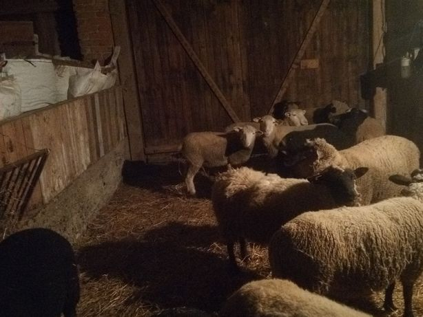 Owce rasy Olkuskiej