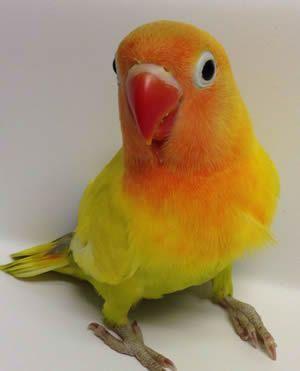 Попугай Фишер Голд-золотистый