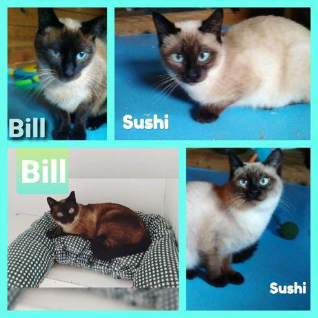 Sushi e Bill - gatinhos para adoção conjunta