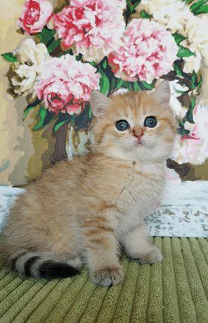 Золотая шиншилла котик и кошечка