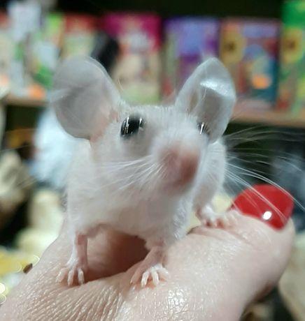 Myszy kolczaste mlode