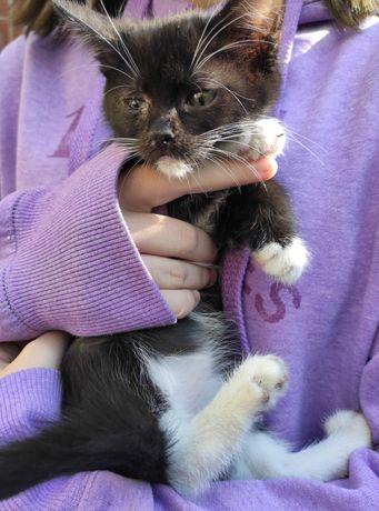 Котенок Лиза, черно-белый, 2,5 месяца