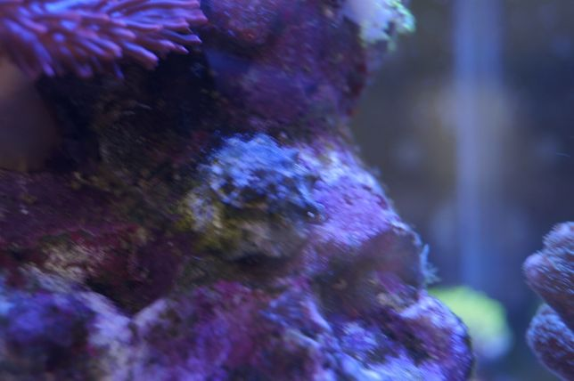 ślimak Astralium / akwarystyka morska