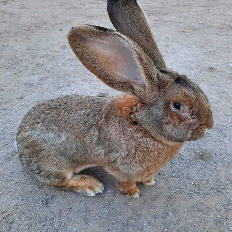 Sprzedam króliki Belgijski Olbrzym