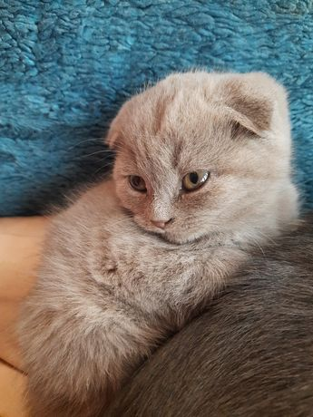 Висловухий котик