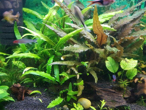 Kryptokoryna zwartka green brown karbowana anubias