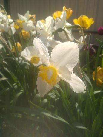 Нарцис з квіткою