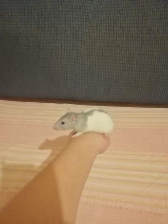 Szczurki domowe szczur szczurek