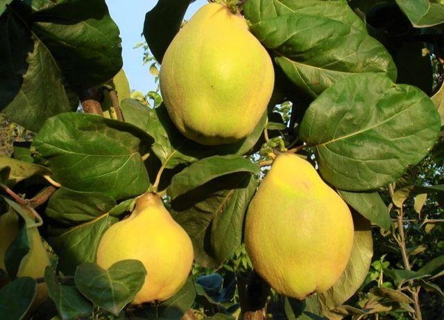 Świeże ekologiczne owoce PIGWY