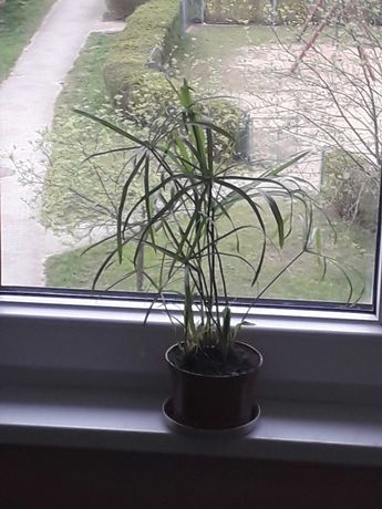 kwiat doniczkowy papirus