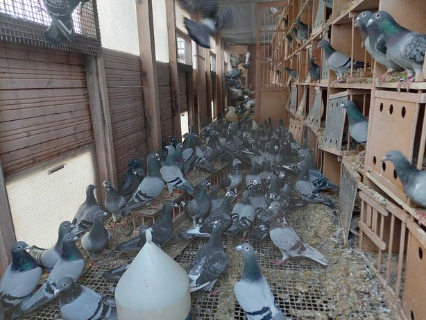 Gołębie pocztowe z rozplodu
