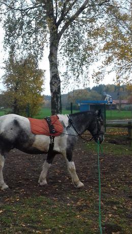 Koń wałach