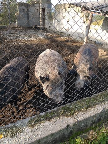 Продам диких свиней