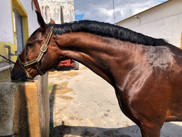 Cavalo Luso-arabe 4 anos