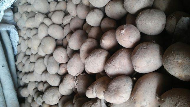 Ziemniaki 34 odmiany zolte i czerwone jadalne i wielkosc sadzeniaka