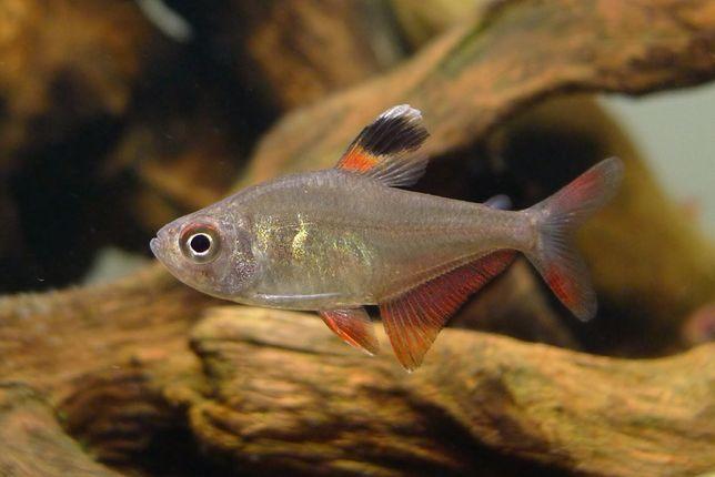 Bystrzyk sp. Hyphessobrycon werneri