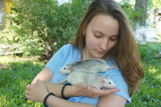Передержка грызунов: крысы, хомячки, морские свинки, шиншиллы , кролик