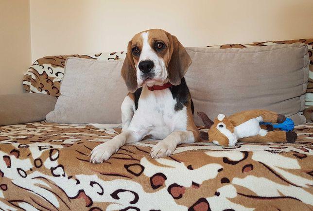 Piękna suczka hodowlana rasy Beagle z rodowodem