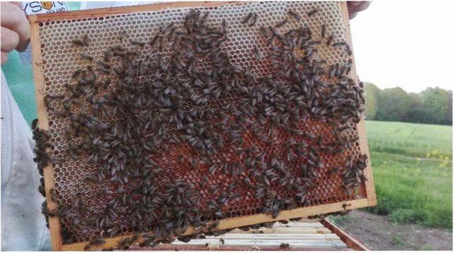 ПЛОДОВИТЫЕ Пчелиные матки - Карника - Скленар и Тройзек