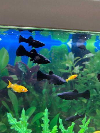Peixes Molinésia Negra