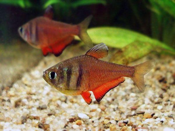 Ryby do akwarium od 1zł - Bystrzyk czerwony - hodowla, nowe promocje
