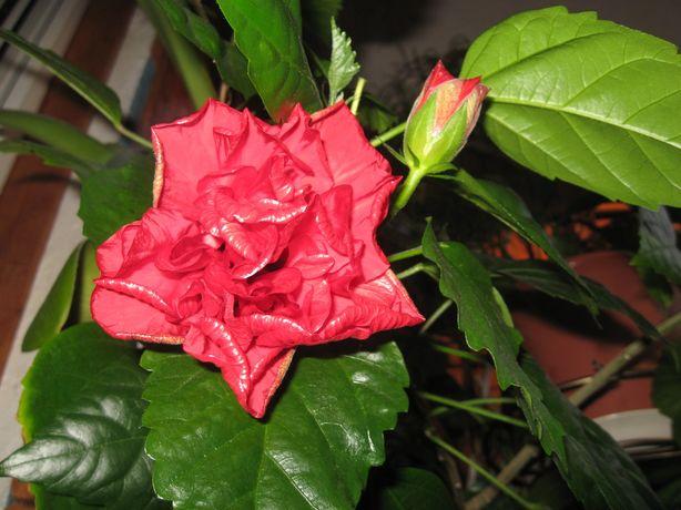 Гибискус, китайская роза.