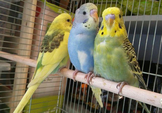 Papuga falista ,