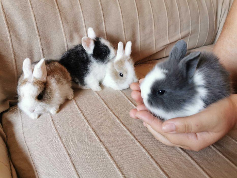 KIT completo coelhos anões angorá, holandês mini e minitoy Odivelas - imagem 1