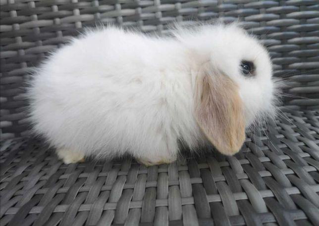 Śliczny królik miniaturka karzełek baranek francuski mini lop króliki