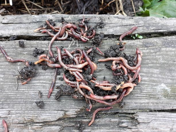 Robaki czerwone z gnojnika