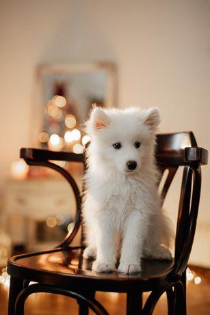 Продам щенков самоеда, самоедская собака, самоед